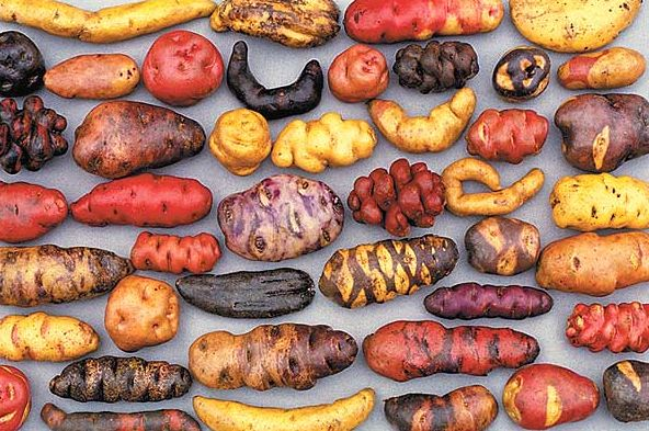 In Peru, farmers simultaneously plant a wide variety of potatoes to ensure biodiversity and to protect their harvest in case any one variety befalls pest or disease in any given year.