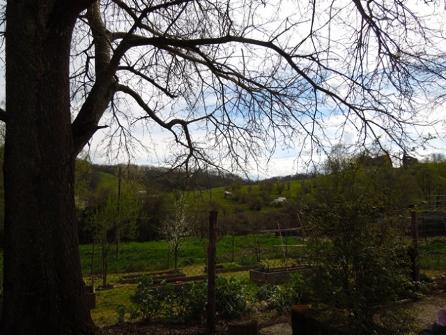 The garden and the Chianine Cows