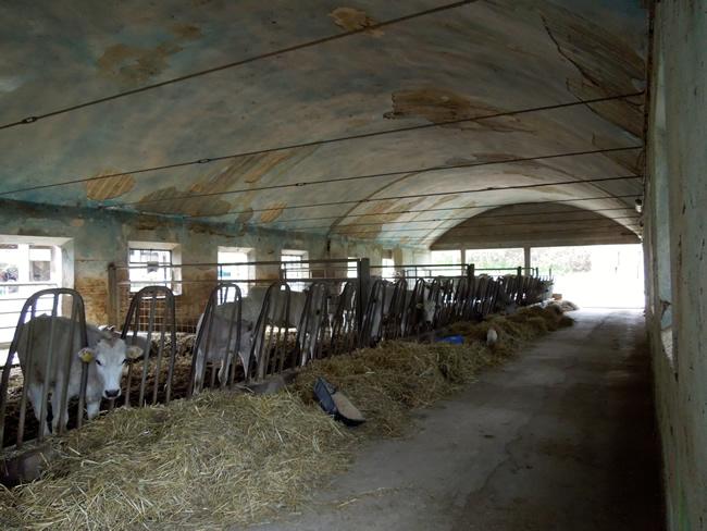The Chianine Cows feeding.