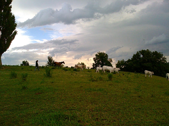Moving the Cows to Fresh Pasture
